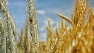 Cultiver des céréales dans son jardin : utile et esthétique !